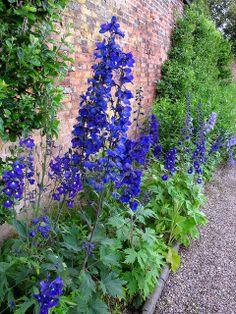 backyard designs – Gardening Ideas, Tips & Techniques Country Cottage Garden, Cottage Garden Plants, Blue Garden, Shade Garden, Dream Garden, Cottage Gardens, Delphinium Flowers, Blue Flowers, Delphiniums