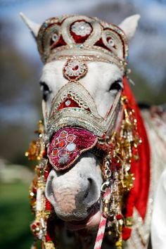White Horse in Indian Wedding Ceremonial Dress - Do I look as dumb as I feel?  Don't answer that!