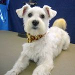 Maltese Schnauzer mix...my two favorite dogs rolled into one. Not sure I could handle him!