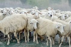 Dare to be Different / Vive la différence ! Photo Voyage, Photo Look, Dares, Different, Sheep, Goats, Invitations, Holiday Postcards, Funny Dogs