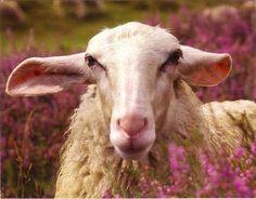 Veluws Heideschaap #schaap #schapen #Purewol
