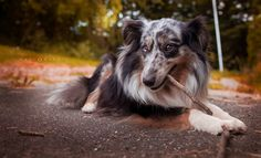 Sheltie Emma lernt Qerflöte spielen.  https://www.facebook.com/AfliaFotografie/photos/a.554206251288387.1073741832.553998791309133/925681967474145/?type=1