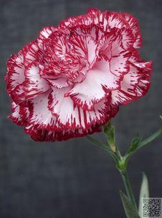 #January - Carnation