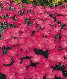 Dianthus, Firewitch Deep violet pink blooms emit the sweet fragrance of carnations, covering low-growing mounding plants all spring. Holds up well in cold, heat or humidity.