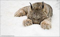 Lynx at Muskoka Wildlife Center