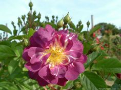 'Veilchenblau' rose -- purple, shade tolerant, fragrant.  USDA zone 4b and warmer.  Hardy, vigorous, can be trained as a climber.