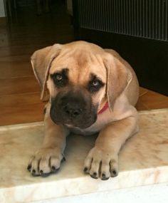 Dog Presa Canario, 2 months