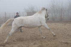 Bella, vedeta hergheliei. www.horseland.ro