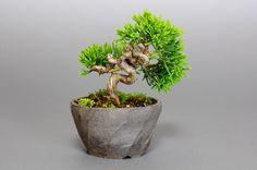 シンパク-D1(しんぱく・真柏)松柏盆栽の販売と育て方・作り方・Juniperus chinensis bonsai