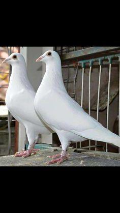 White racing pigeon Pet Pigeon, Pigeon Bird, Dove Pigeon, Racing Pigeon Lofts, Pigeon Pictures, White Pigeon, Pigeon Breeds, Homing Pigeons, Sulcata Tortoise