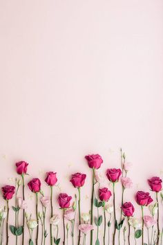 Pink roses on a pink background by Ruth Black for Stocksy United - Blumen Rosen -