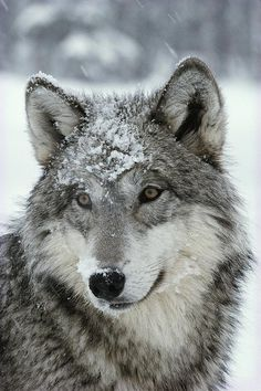 Description  A dusting of snow lies on the face of a gray wolf, Canis lupus. Photo by Jim & Jamie Dutcher