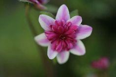 Hepatica japonica Momohanabi