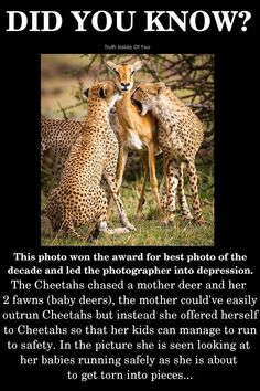That's really sad. Mother deer saving her fawns from hungry cheetahs Animals And Pets, Baby Animals, Cute Animals, Wtf Fun Facts, Odd Facts, Crazy Facts, Random Facts, Random Stuff, Sad Stories