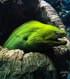 Green Moray Eel | Danny Jacobson Photography