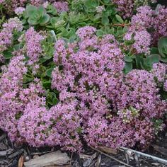Sedum SunSparkler® 'Lime Zinger' Sunsparkler® Lime Zinger Stonecrop from Prides Corner Farms Sedum Plant, Summer Bulbs, Front Yard Plants, Shady Tree, White Flower Farm, Full Sun Plants, Oriental Lily, Border Plants, Plants Online