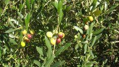 Aceite de oliva virgen extra de calidad superior. Arbequina Vegetables, Food, Sisters, Health, Essen, Vegetable Recipes, Meals, Yemek, Veggies