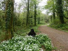 ... and the smell of wild garlic! Just love it!! #Gower #BankHolidayMonday pic.twitter.com/er6YhnNIZu