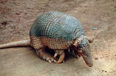 Armadillo gigante o tatu carreta (Priodontes maximus), Animal en Peligro de Extinción