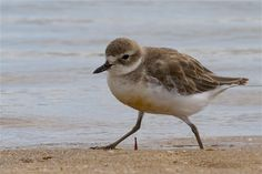 Tuturiwhatu - New Zealand dotterel (northern sub-species) - Charadrius obscurus aquilonius