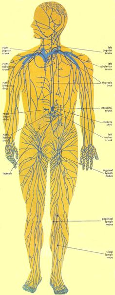 The lymphatic system consists of the tissues and organs that produce, store, and carry lymphocytes (a type of white blood cell), which fight infections and other diseases.