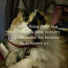 Ecclesiastes To every thing there is a season, and a time to every purpose under the heaven Bengal Kittens, Calico Cats, Ecclesiastes, Maine Coon, Bible Scriptures, Cat Breeds, Cute Animals, Heaven, Seasons