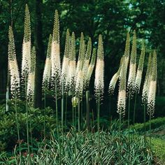 I want these in my garden eremurus himalaicus, white foxtail