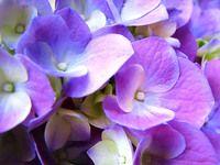 Díky hortenziím vaše zahrada pokvete od července do října