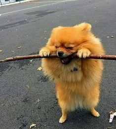 Cutest #Pomeranian