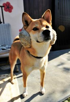 Shiba Inu--my next dog of choice :)