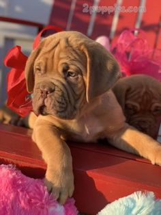 Dogue de Bordeaux puppies for sale 1596 | 2puppies.com
