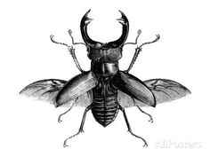 A Rather Handsome Stag Beetle Spreads its Wings Giclee Print