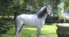 Pónei da Ilha Terceira    Pónei da Terceira reconhecido como raça autóctone e quarto cavalo português.
