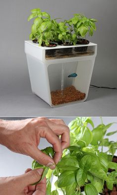 Make this floating pvc planter for growing herbs in your for Aquaponics fish food