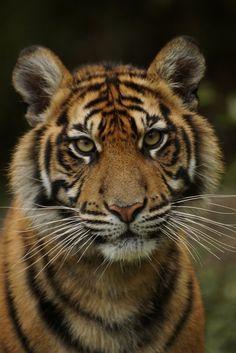 Big Cats - Young Sumatran Tiger