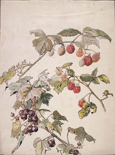 Beatrix Potter - Blackberry and blackcurrant, about 1905