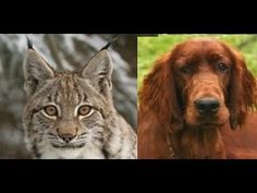 Lefty, a kelekótya hiúz (Lefty, the Dingaling Lynx, 1971) teljes film magyarul https://www.youtube.com/watch?v=0Q-oR3eVwsk
