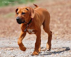 Looks exactly like my sam the man....I think we found his other mix..Rhodesian Ridgeback, by Phillip Chitwood..