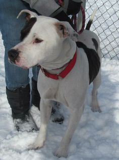 URGENT!!!! ERNIE (lovable) - FOUND IN CANTON, OHIO... NOW ADOPTABLE!!!  Picked up as a stray on 12/31.  Available on 1/4.  Ernest...what a handsome big guy this dog is!  He's very strong, and was in a hurry to get outside, so the volunteer just held on and enjoyed the walk by Ernest!   He actually did very well upon...