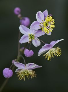 MeadowRue 'Lavender Mist' lorez
