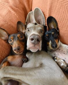 Dog Breeds Little .Dog Breeds Little Dachshund Funny, Dachshund Love, Funny Dogs, Dachshund Puppies, Animals And Pets, Baby Animals, Funny Animals, Cute Animals, Cute Puppies