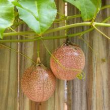 Passionfruit vine.
