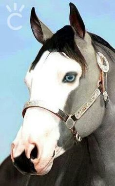 Blue eyes - Gray Paint horse , amazing!