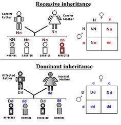 Recessive and dominant gene