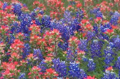 Spring in Texas! Bluebonnets and Indian paintbrush.