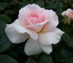 A White Shade Of Pale Hybrid Tea Roses Plant with Fragrant Pink Flowers - GardenSite.co.uk