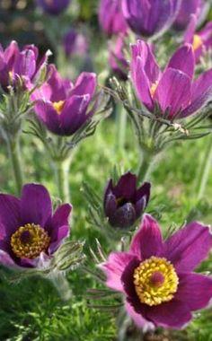 ErstfrühlingVon März bis April zeigen sich die niedlichen Glockenblüten der Küchenschelle ( Pulsatilla vulgaris). Ist die Blüte vorbei, erfreut die Trockenrasenpflanze noch lange Zeit mit ihren hübschen federigen Samenständen. Die Küchenschelle braucht einen humos-sandigen, kalkhaltigen Boden und viel Sonne