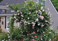 Die Kletterrose 'Jasmina' bringt mit ihren Duft und Blüten-Farbe einen Hauch von Roamnntik in den Garten von Bill Kozemchak.