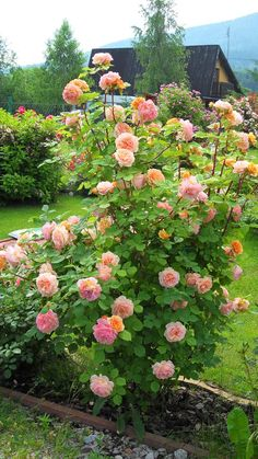 Charles Austin Beautiful Flowers Garden, Amazing Flowers, Beautiful Roses, Beautiful Gardens, Yellow Knockout Roses, Geraniums Garden, Rose Garden Design, Rose Trees, Growing Roses