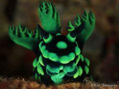 Nembrotha cristata nudibranch by Ken Thongpila. ~via Diving & Photography, FB